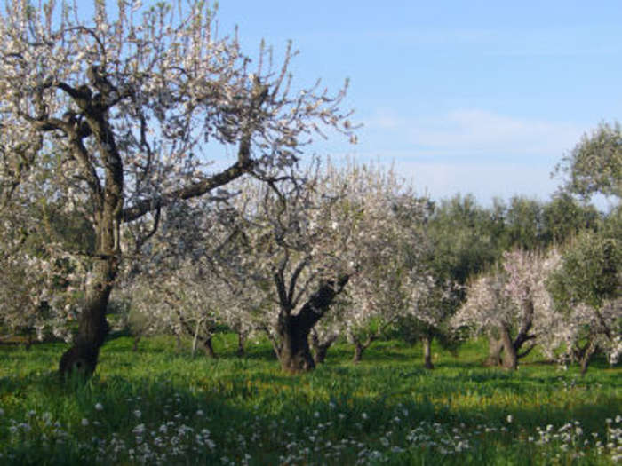 Almond_orchard_in_blossom_1.jpg