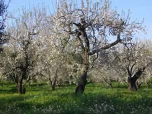 Amond_orchard_in_blossom_3.jpg