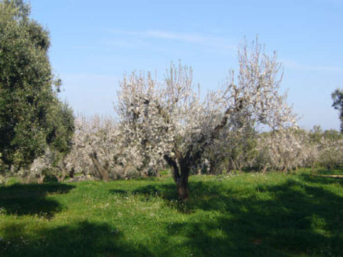 Almond_orchard_in_blossom_2.jpg